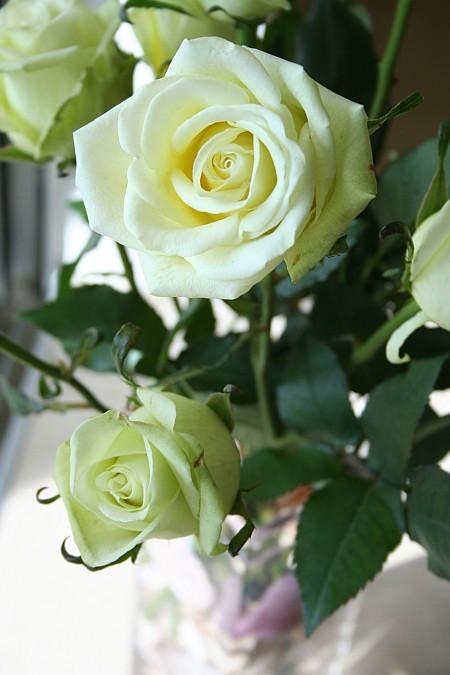 lime_roses.jpg