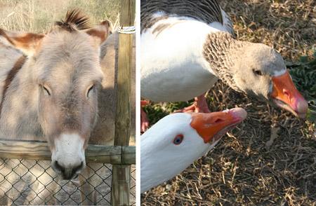torraccia_donkey-geeses