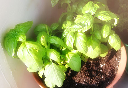 porch-garden_basil-in-pot