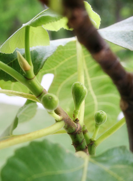porch-garden_fig-tree-closeup
