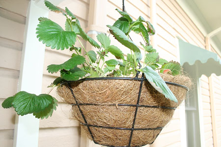 porch-garden_hanging-strawberries-plant